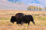 Bison, Lamar Valley, Yellowstone National Park, Wyoming