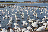 From November until March 2,000 Whooper swans migrate from Iceland to spend the winter in West Lancashire - a spectacle that is unique to the North West. The swans are fed to grain or waste potatoes to try to keep them on the reserve and away from farmer's fields.