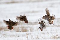A flock of Gray Partridge land in a field in Belgrade, Montana.