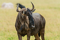 Blue wildebeest (gnu), Nxai Pan National Park, Botswana.