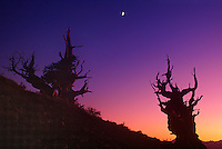 730252015 post sunset light and a rising half moon shed faint highlights on two ancient bristlecone pines pinus longeava in the bristlecone protected forest in the white mountains in kern county california