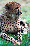 Cheetah, acinonyx jubatus,felidae, speed, fastest land animal, citrakayah, variegated body, Animal, wild animals, domestic animals,  Fine Art Photography, Ron Bennett Photography ©, cat, disambiguation, felis catus, hunt vermin, growling, hissing, puring, chirping, clicking, Felis silvestris lybica, felidae, felinae, felis, Fine Art Photography by Ron Bennett, Fine Art, Fine Art photography, Art Photography, Copyright RonBennettPhotography.com ©