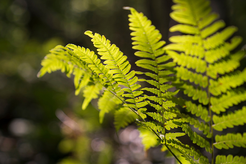 Ferns from along the White Birch Trail at Pictured Rocks National Lakeshore near Munising, Michigan.