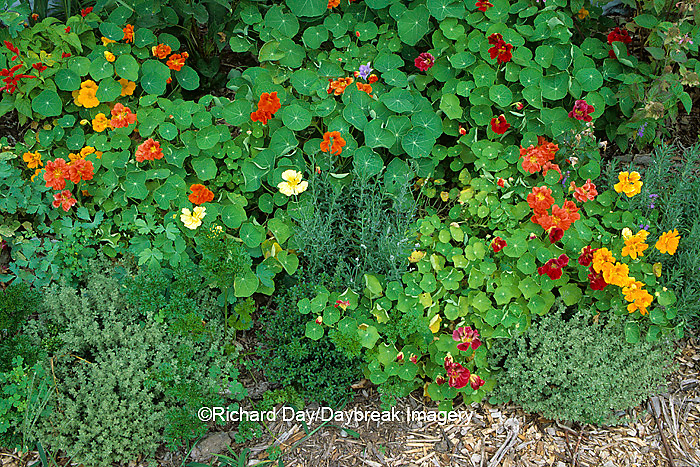 63821-01915 Nasturtiums, silver thyme, parsley, lavender, balloon flowers in garden Marion Co.  IL