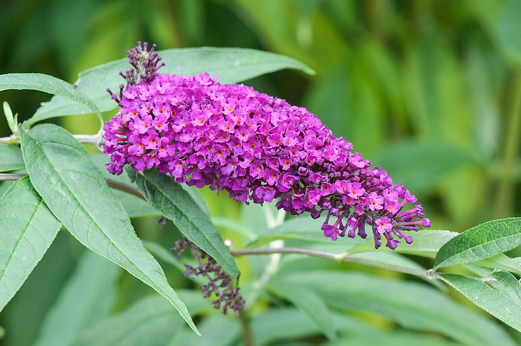 Buddleia davidii 'Royal Red', mid August.