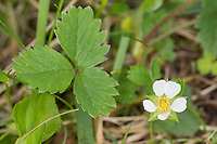 Wild Strawberry - Fragaria vesca, Stoke Woods, Bicester, Oxfordshire owned by the Woodland Trust