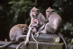 macaques in Bali