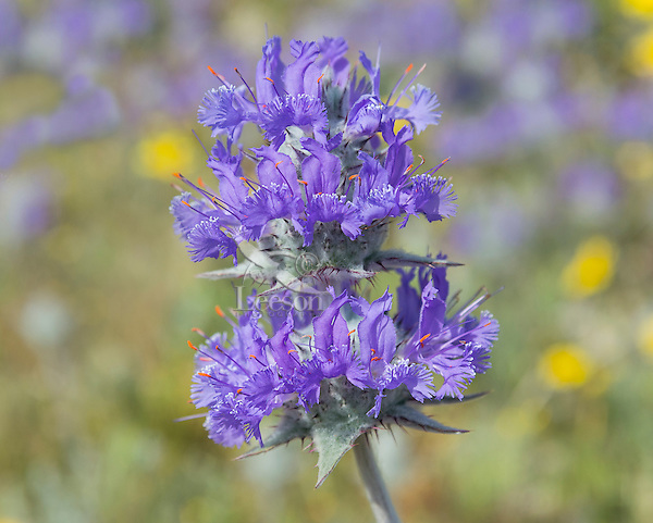Thistle Sage (Salvia carduacea)--one of the most beautiful native sages.  Endemic to California and Northern Baja California.  March.  These wildflowers were an important food source to Native Americans who mixed water with milled seeds to make a nutritous gruel.