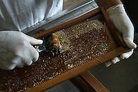 Apicultores trabalham na coleta de mel e seu processo até a comercialização do produto .<br /> <br /> A região do Alto Turi e Gurupi, cerca de 600 produtores contribuem para os bons números do mel no estado<br /> <br /> BR 222<br /> <br /> <br /> Santa Inês do Parú, Maranhão, Brasil<br /> Foto Paulo Santos<br /> 11/2006