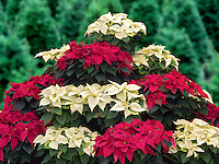 Christmas Poinsettias.. Oregon