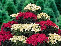 Christmas Poinsettias.. Oregon