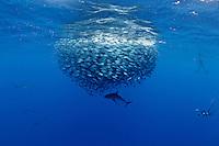 RM40334-D. Silky Shark (Carcharhinus falciformis), feeding on small fish (juvenile Bigeye Jacks, Caranx sexfasciatus) in baitball. Baja, Mexico, Pacific Ocean. <br /> Photo Copyright &copy; Brandon Cole. All rights reserved worldwide.  www.brandoncole.com