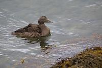 Eiderente, Eider-Ente, Weibchen, Meeresente, Meeresenten, Somateria mollissima, common eider, eider, female, L'Eider à duvet