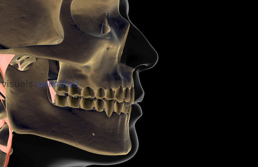 A lateral view (right side) of the bones of the jaw. Royalty Free