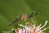 MQ29-017d  Mosquito - male adult - Culex spp.