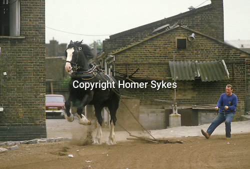 Youngs Brewery Wandsworth south west London. SW18. England UK 1980s. Heavy horse training.