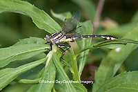 06421-001.05 Plains Clubtail (Gomphurus externus) male near wetland, Lawrence Co., IL