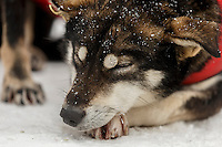 A Jason Mackey dog rests in the finish chute after Jason finished in Nome on Thursday March 13 during the 2014 Iditarod Sled Dog Race.<br /> <br /> PHOTO (c) BY JEFF SCHULTZ/IditarodPhotos.com -- REPRODUCTION PROHIBITED WITHOUT PERMISSION