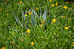 Cactus among blooming succulent in Boyce Thompson Arboretum State  Park in Arizona