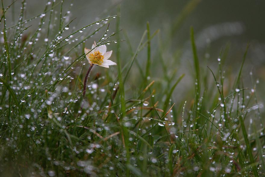 Alpine flower in the rain., Hohe Tauern National Park, Carinthia, Austria