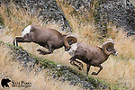 Bighorn sheep rams fighting during the rut.  Western Montana.