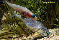 1S55-506z  Threespine Stickleback, gravid female entering male's nest to lay her eggs, Gasterosteus aculeatus