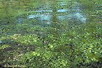 PO05-005b  Pond  Algae - pond scum growing at surface of small pond