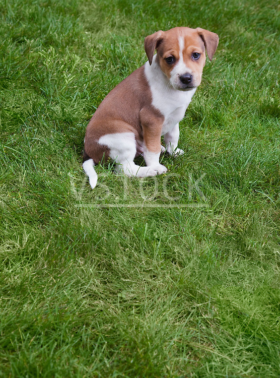 USA, California, Fairfax, Beagle puppy sitting on grass