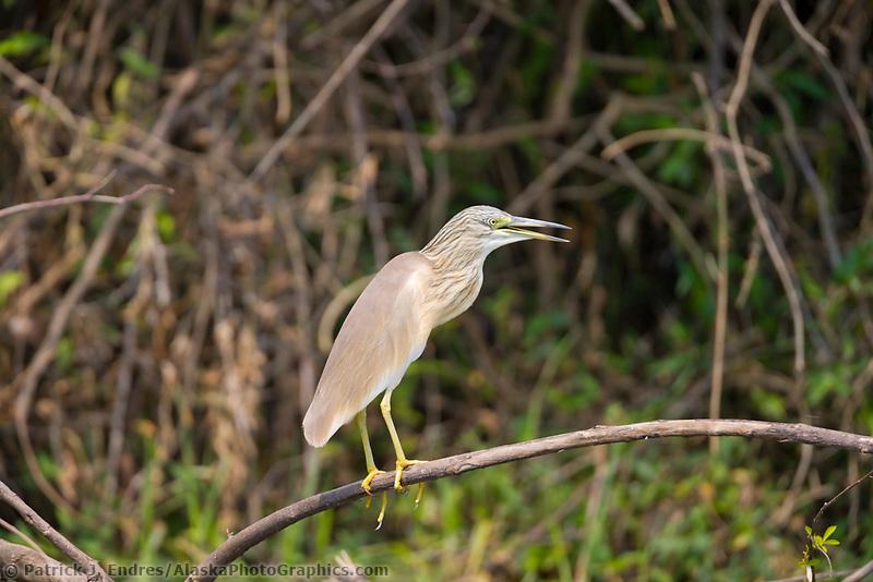 Heron, Kazinga Channel, Queen Elizabeth National Park, Uganda, East Africa