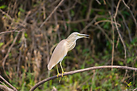 Heron, Kazinga Channel, Queen Elizabeth National Park, Uganda, East Africa