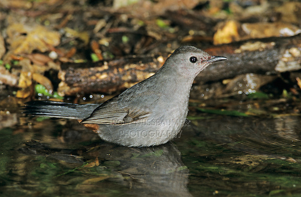 Gray Catbird, Dumetella carolinensis,adult bathing, High Island, Texas, USA, April 2001