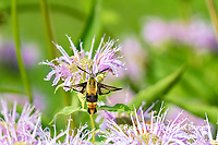 04005-00412 Snowberry Clearwing (Hemaris diffinis) on Wild Bergamot (Monarda fistulosa) Marion Co. IL