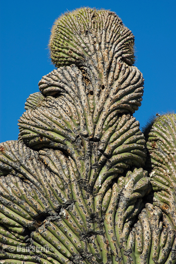 Cristate or crested saguaro, Carnegiea gigantea. Saguaro National Park, Arizona