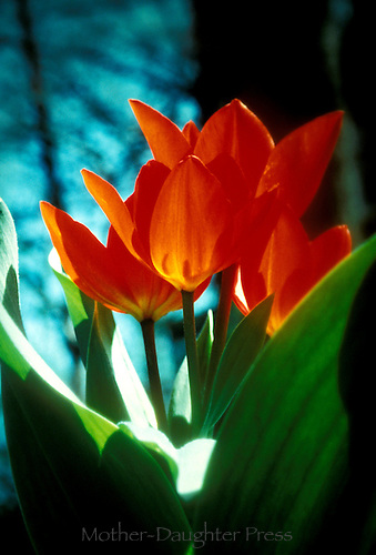 Orange tulips, Tulipa, in late afternoon light through the window