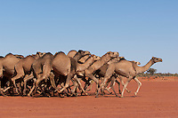 Wild Camels in the Australian desert, on the charge during a muster, Central Australia, Northern Territory, Australia.