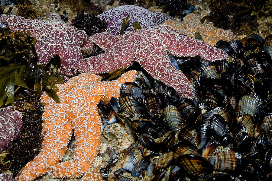 Ochre Starfish & CA Mussels - Point Pinos, Pacific Grove, CA