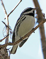 Adult male black-throated gray warbler