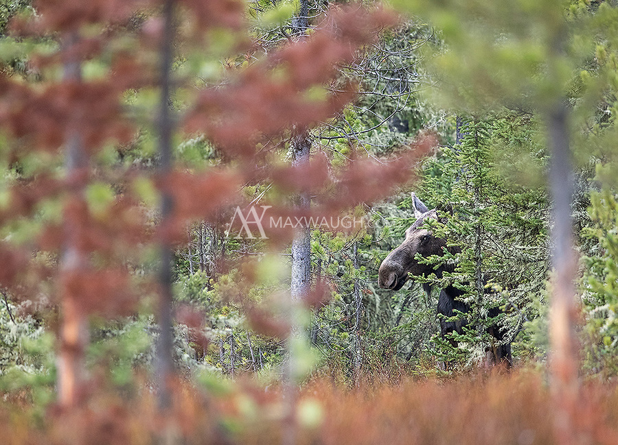 A cow moose peeks through the trees in Yellowstone's northeast corner.