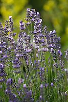 Echter Lavendel, Schmalblättriger Lavendel, Lavandula angustifolia, Lavandula officinalis, Lavandula vera, Lavender, common lavender, true lavender, narrow-leaved lavender, La Lavande officinale, Lavande vraie, Lavande à feuilles étroites