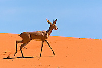 Steenbok walking on red sand dune
