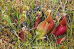 Northern Pitcher Plant, Sarracenia purpurea