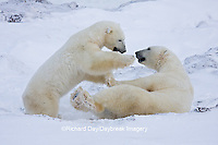 01874-11319 Polar Bears (Ursus maritimus) sparring, Churchill Wildlife Management Area MB