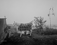 A horse in a camp along the river Ravi where a community from Shie Kho Pura settled to primarily raise water buffalos, in the outskirts of Lahore, Pakistan on Tuesday November 17, 2009.