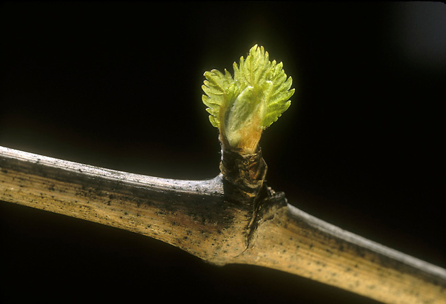 Bud break on vine