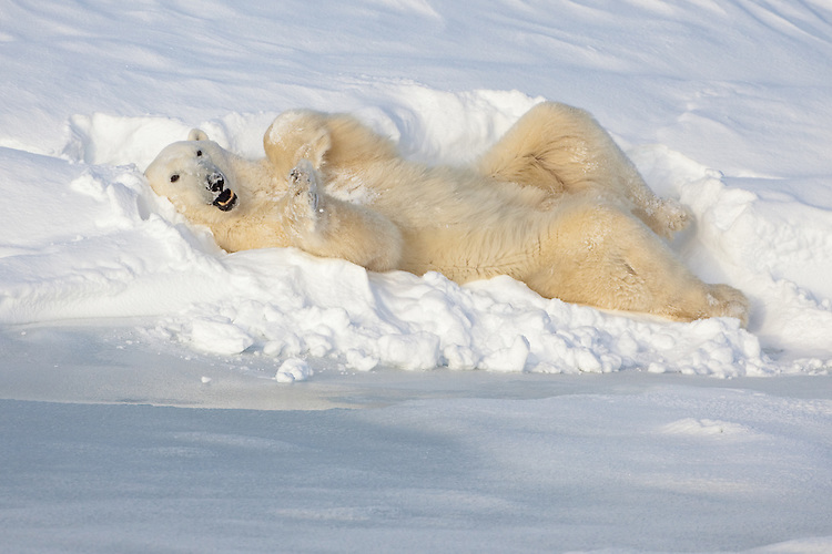 Polar Bear Chillaxin'