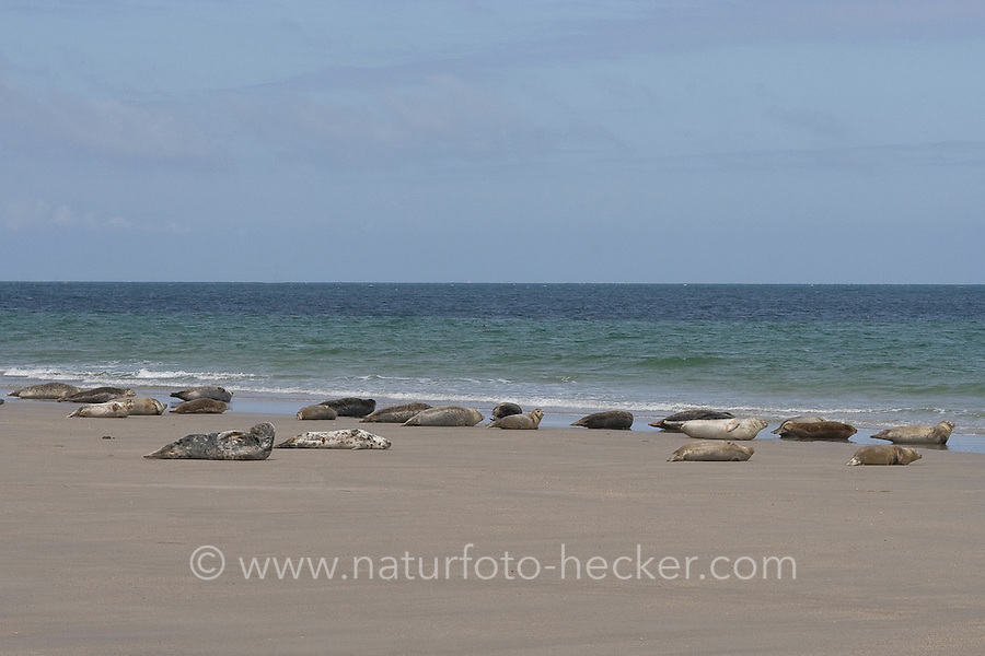 Kegelrobbe, Kegel-Robbe, Kegel - Robbe, Gruppe rastet am Sandstrand, Halichoerus grypus, Grey Seal, Phoque gris