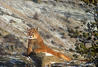 6565326200 a captive mountain lion felis concolor lays on snow covered boulders in central montana