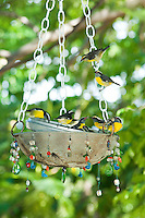 Bananaquits in a feeder.The Tourist Trap.South shore.St. John USVI
