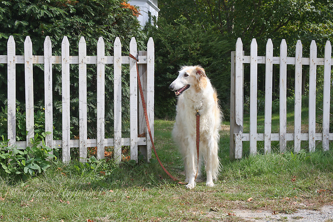 Long haired dog on leash, tied to picket fence.