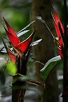 CALI - COLOMBIA - 20 - 06 - 2017: Heliconia (Heliconiaceae) en el Parque de las Garzas en la ciudad de Cali (Pance) the Valle del Cauca, Colombia. / Heliconia (Heliconiaceae) in the Park of the Herons in the city of Cali (Pance) in the Valle del Cauca, Colombia. / Photo: VizzorImage / Luis Ramirez / Staff.
